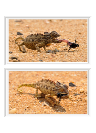 PosterPrint Set: Chameleon catching prey