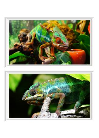 PosterPrint Set mit zwei farbenfrohen Chamäleons